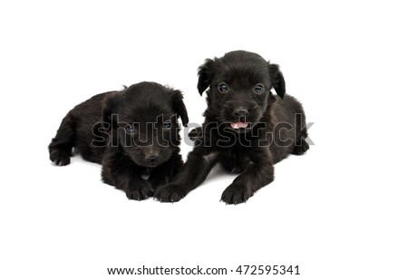 black spaniel puppies on a white background