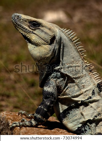 Black Spiny-tailed Iguana (Ctenosaura similis) upper body profile showing head, neck foreleg and claws.  It is seen here at the Mayan Uxmal ruins at Uxmal on the Yucatan Peninsula in Mexico - stock photo