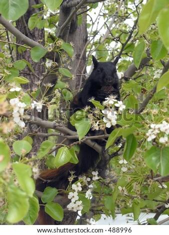Black Squirrel - stock photo
