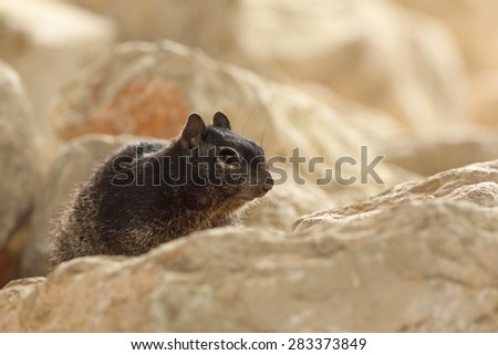 Black squirrel on a rock - stock photo