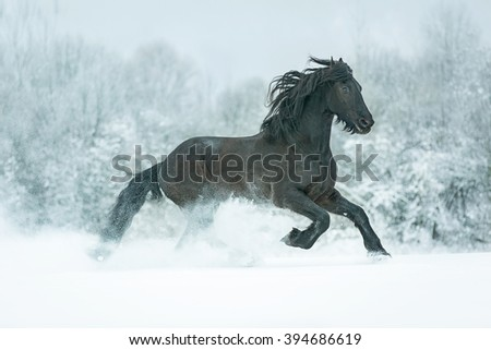 Black stallion galloping in snow meadow.