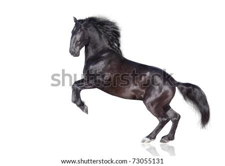 black stallion isolated on white - stock photo