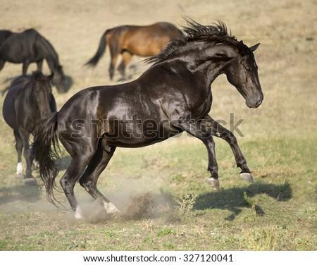 Black stallion rearing up, portrait in freedom - stock photo