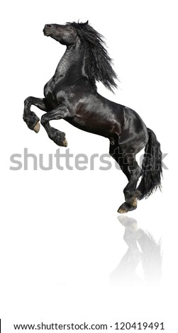 Black stallion, 7 years old friesian horse, isolated on white background - stock photo