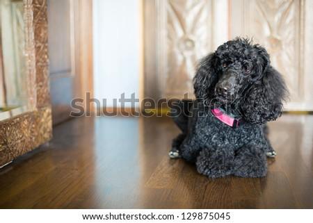 Black Standard Poodle laying on wood floor - stock photo
