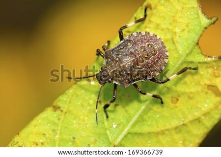 black stinkbug larvae on green leaf in the wild natural state. - stock photo