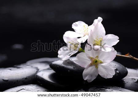 Black stone and white cherry with water drops - stock photo