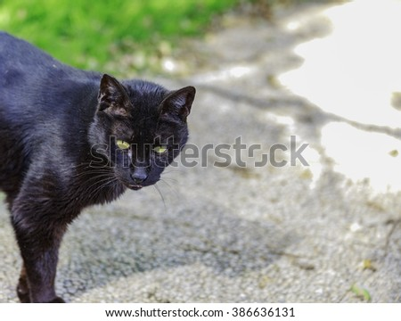Black street cat with green eyes hunting on the grass