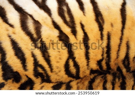 black stripes on real tiger fur, beautiful animal texture - stock photo