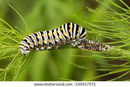 Black Swallowtail butterfly caterpillar eating his molted skin for extra nutrition - stock photo