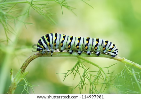 Black Swallowtail Butterfly Caterpillar (Papilio polyxenes) - stock photo
