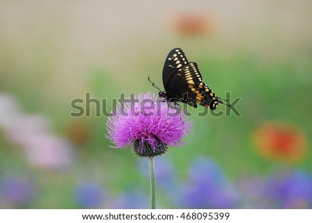 Black Swallowtail Butterfly on Texas Thistle