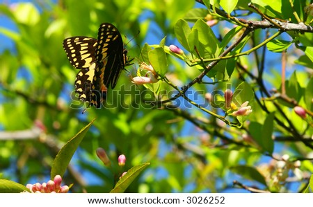 Black Swallowtail Butterfly (Papilio polyxenes) and citrus blossoms. - stock photo