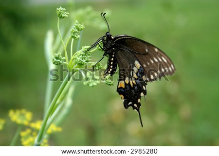 Black Swallowtail laying eggs