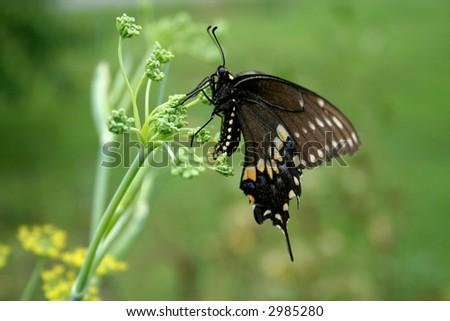 Black Swallowtail laying eggs - stock photo