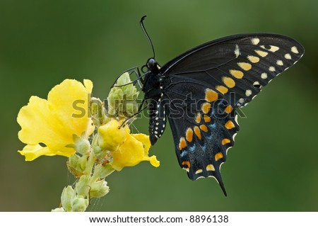 Black swallowtail (Papilio polyxenes) with light coating of dew perched before sunrise - stock photo