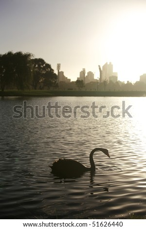 Black swan on Swan River, with Perth City in the background. - stock photo