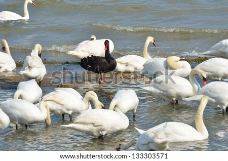 Black swan standing out amongst white swans - stock photo