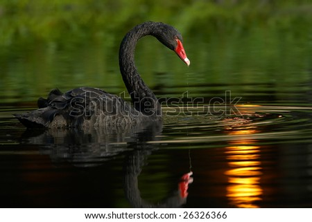 Black swan swimming - stock photo