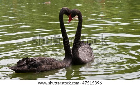 Black swans creating a heart shape - stock photo