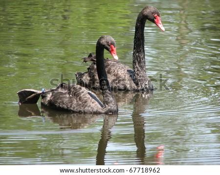 Black Swans Gliding - stock photo
