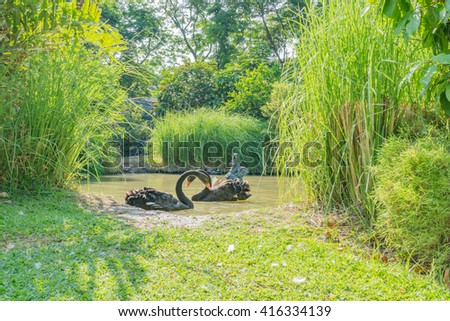 Black swans in a lake. - stock photo