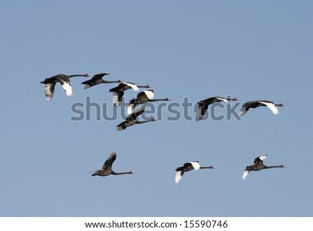 black swans in flight formation nsw australia - stock photo