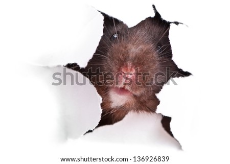 Black Syrian hamster looking through the ragged hole in the paper - stock photo