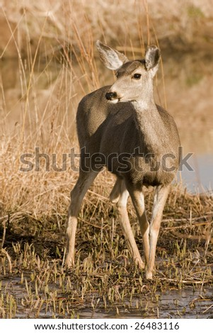 Black-Tailed Deer at Bosque Del Apache