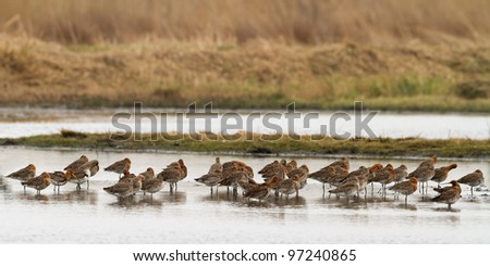 Black Tailed Godwit Flock in water - stock photo