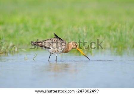 Black-tailed godwit (Limosa limosa) wading - stock photo