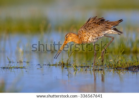 Black-tailed Godwit (Limosa limosa) Walking in shallow water. This is one of the wader bird target species in dutch nature protection projects - stock photo