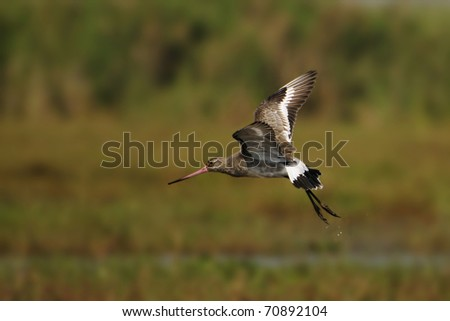 Black-tailed Godwit takes off from water