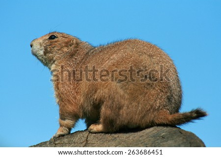 black-tailed prairie dog - stock photo