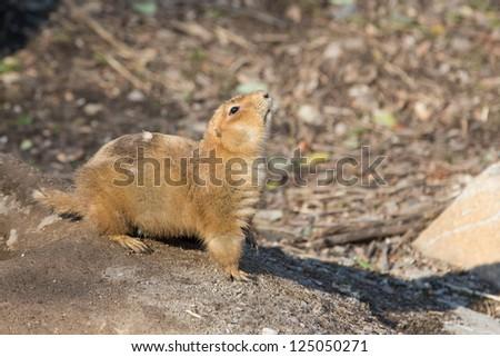 Black-tailed Prairie Dog, Cynomys ludovicianus,captive - stock photo