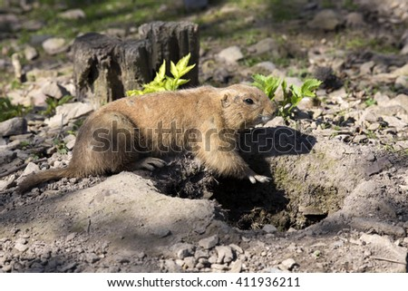 Black-tailed prairie dog, Cynomys ludovicianus, in front of burrow