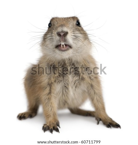 Black-tailed prairie dog, Cynomys ludovicianus, in front of white background - stock photo