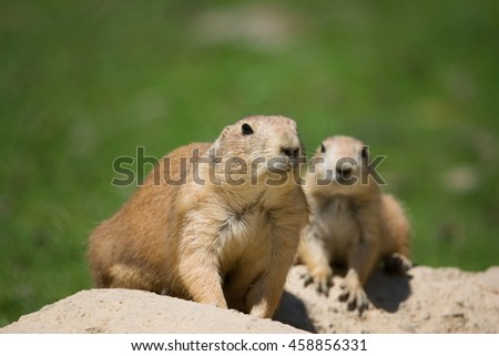 Black-tailed prairie dog (Cynomys ludovicianus) mame with their pups out of the den