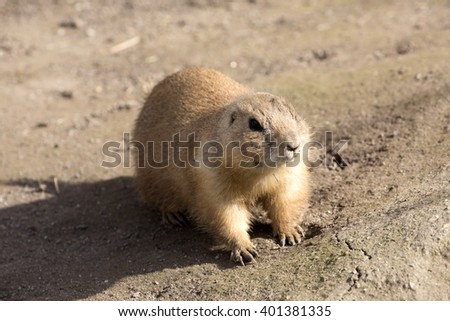 Black-tailed prairie dog, Cynomys ludovicianus, nibbling sprigs