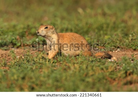 Black-tailed Prairie Dog (Cynomys ludovicianus) on alert in Oklahoma - stock photo