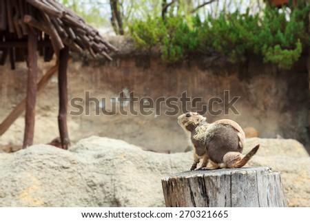 Black-tailed prairie dog in moulting season - stock photo