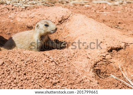 black tailed prairie dog on red dirt under bright sunny conditions - stock photo