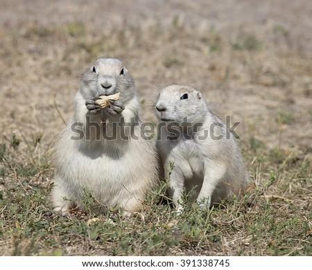 Black-Tailed Prairie Dog pair, enjoying a peanut.    - stock photo