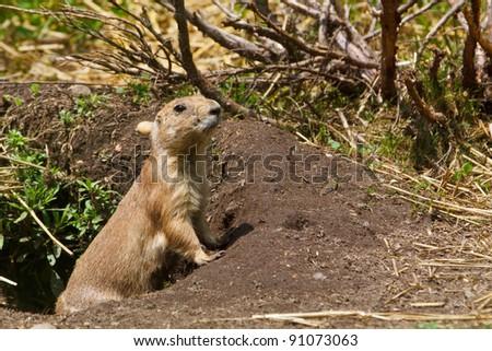Black-tailed Prairie Dog peeking out of its hole (Captive) - stock photo