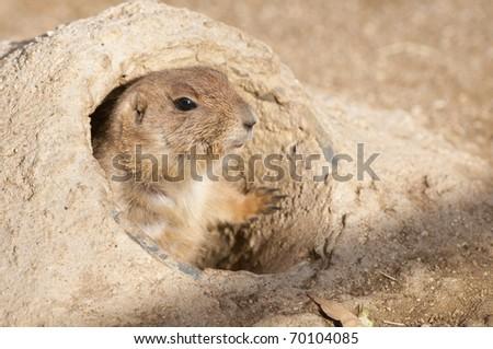 Black Tailed Prairie Dog Portrait - stock photo
