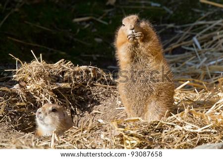 Black-tailed Prairie Dog, Suricata suricatta, captive - stock photo