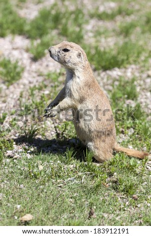 Black-tailed prairie dogs in their colony just outside Devil's Tower National Monument in Wyoming. - stock photo