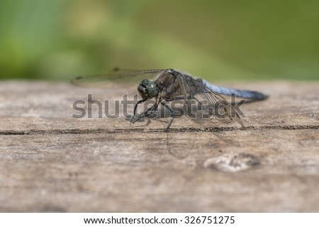 Black-tailed Skimmer (Orthetrum cancellatum) resting on a Log