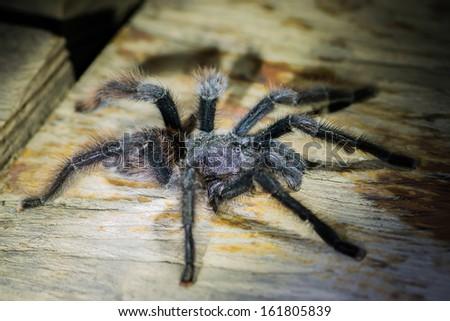 black tarantula in the peruvian Amazonian jungle at Madre de Dios - stock photo