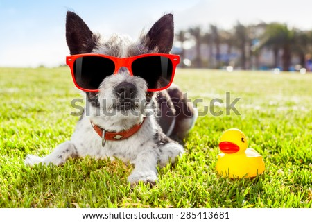 black terrier  dog  relaxing and resting , lying on grass or meadow at city park on summer vacation holidays, with  yellow rubber duck as best friend - stock photo